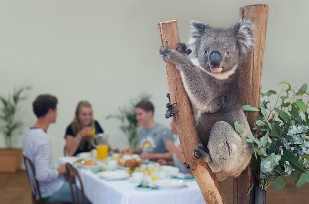 Breakfast with a koala at Featherdale Wildlife Park